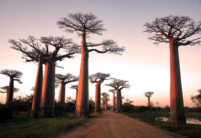 allée des baobabs Madagascar - blog Opodo