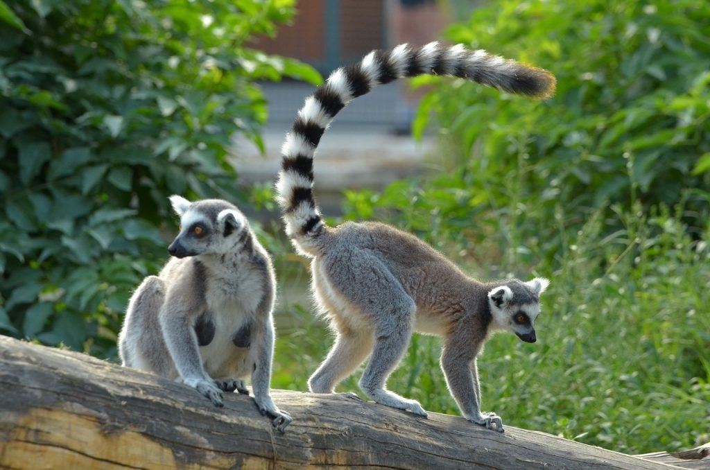 Lémuriens - blog Opodo