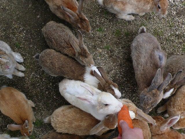 lapins sur l'île de okunoshima