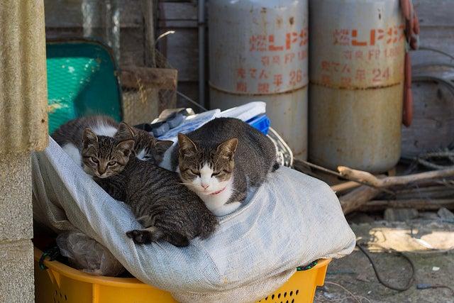 îles aux chats - Tashirojima