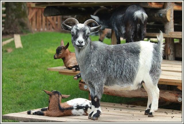 Chèvre grise