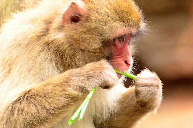 macaque du japon - Toshihiro Gamo