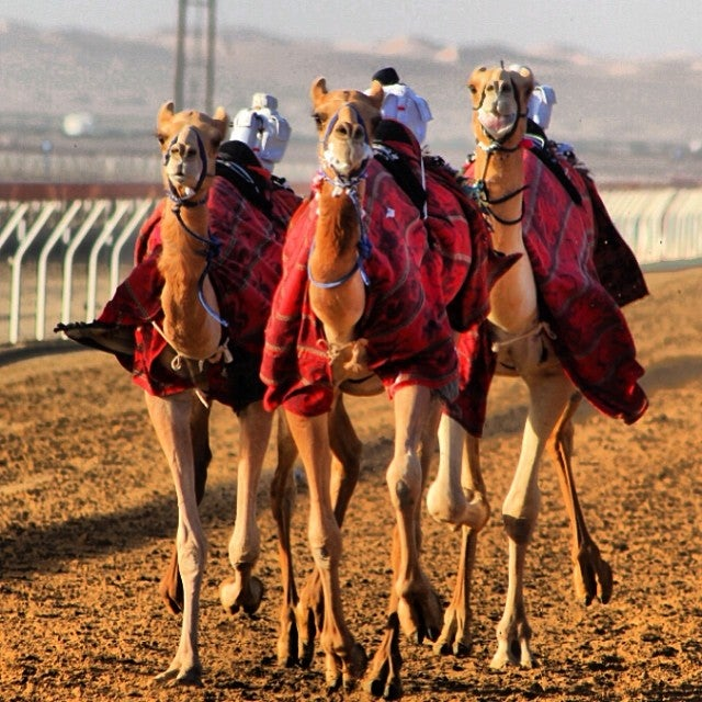 Camel racing in Abu Dhabi