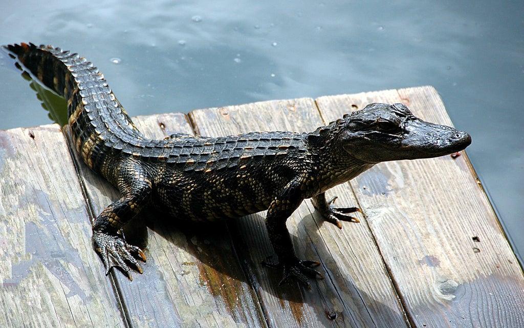 alligator-everglades-opodo