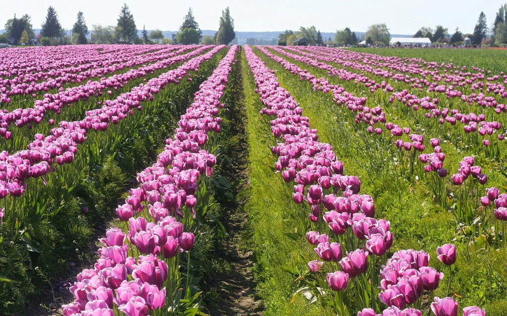 tulips-skagit-valley-opodo