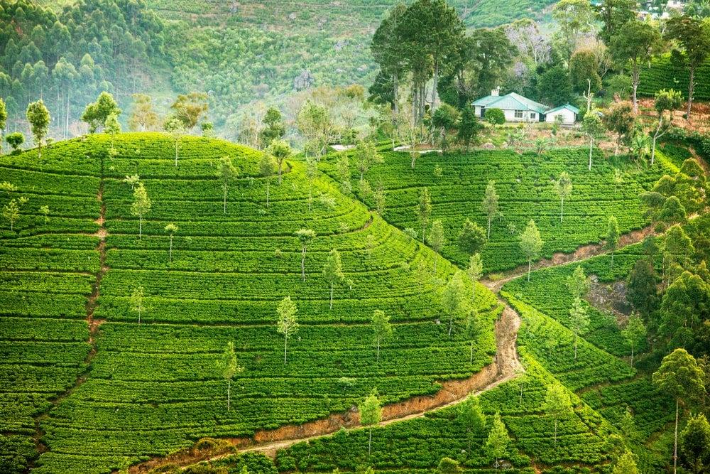 plantation de thé sri lanka - blog Opodo